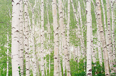 Aspen Trees Art Print by Panoramic Images