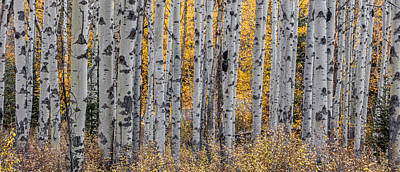 Photograph - Aspen Trees by Pierre Leclerc Photography