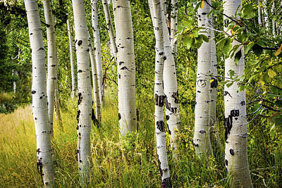Photograph - Aspen Trees by TL Mair