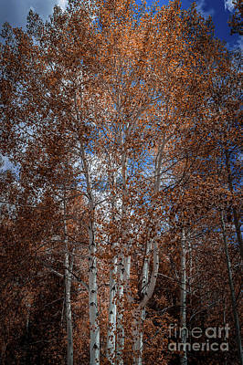 Photograph - Aspen Trees Wyoming by Blake Webster