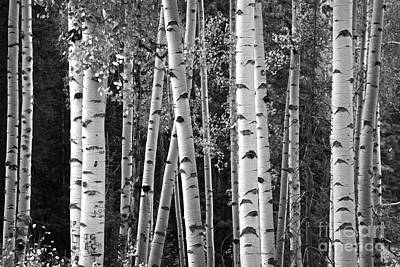 Photograph - Aspen Trunks Black And White by John Stephens