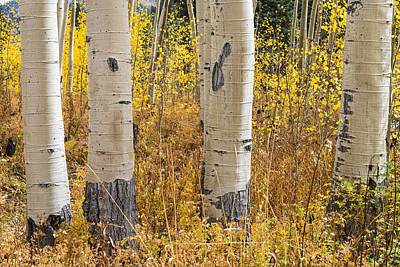 Photograph - Aspen Trunks by Gary Lengyel