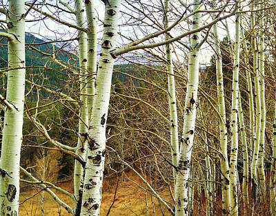Photograph - Aspen Trunks - Photography by Ann Powell