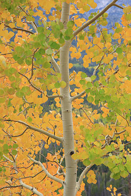 Photograph - Aspen Watching You by David Chandler
