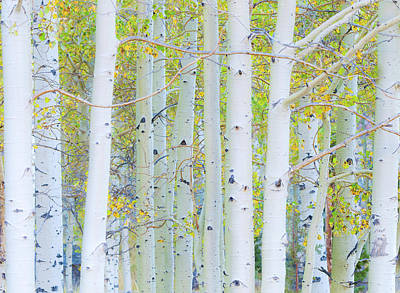 Photograph - Aspen White by Jonathan Nguyen