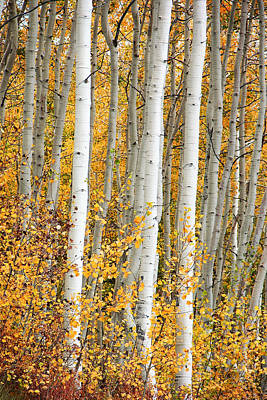 Aspen With Fall Color Art Print by Dori Peers