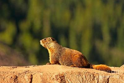 Photograph - Aspen Yellow Bellied Marmot by Adam Jewell
