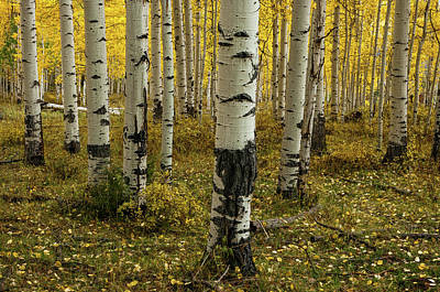 Photograph - Aspens - 0245 by Jerry Owens