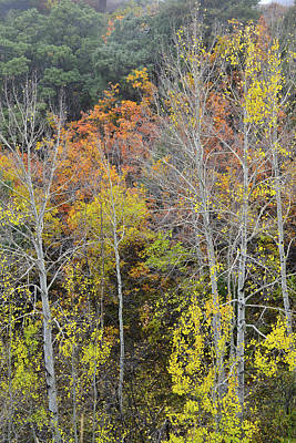 Photograph - Aspens Along Dallas Creek Road by Ray Mathis