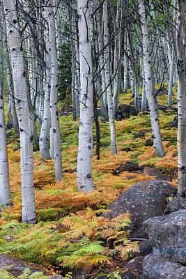 Aspens And Golden Ferns - Www.thomasschoeller.photography Print by Thomas Schoeller