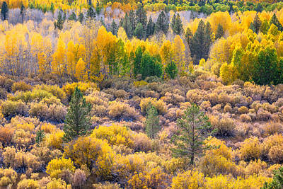 Photograph - Aspens And Pines In Fall by Alexander Kunz