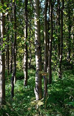 Aspens And Shadows Art Print by Marilynne Bull