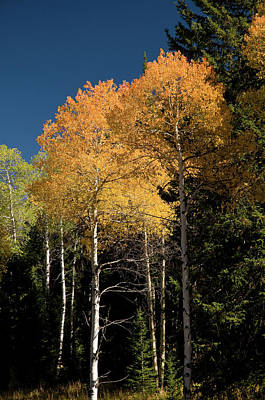 Art Print featuring the photograph Aspens And Sky by Steve Stuller