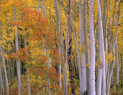 Aspens At Independence Pass Colorado Art Print by Tim Fitzharris
