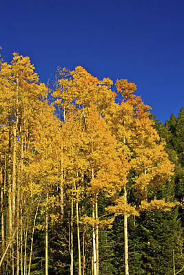 Photograph - Aspens by Bill Barber