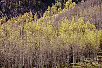 Photograph - Aspens Bloom by Franz Zarda