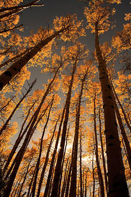 Photograph - Aspens by Erica Kinsella