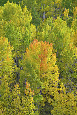 Photograph - Aspens Glowing In Evening Sunlight by Ray Mathis
