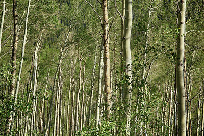 Photograph - Aspens In Aspen by Marie Leslie