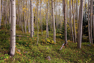 Photograph - Aspens In Autumn 8 - Santa Fe National Forest New Mexico by Brian Harig
