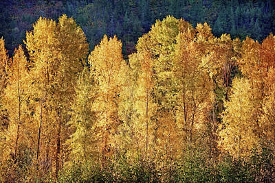 Photograph - Aspens In Autumn IIi by Leda Robertson