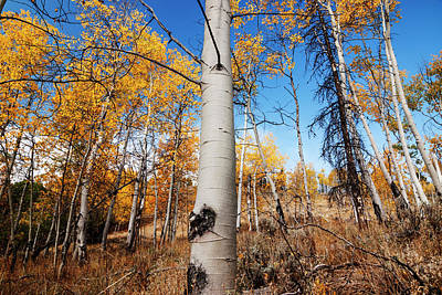 Photograph - Aspens In Autumn In Stanley Idaho by Vishwanath Bhat