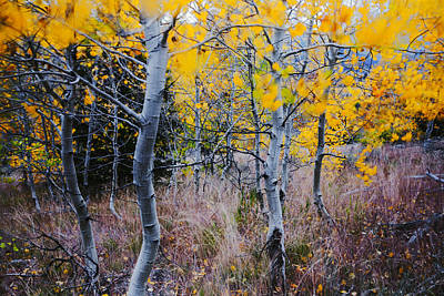 Photograph - Aspens In Autumn by Vishwanath Bhat