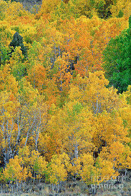 Photograph - Aspens In Fall Eastern Sierras California by Dave Welling