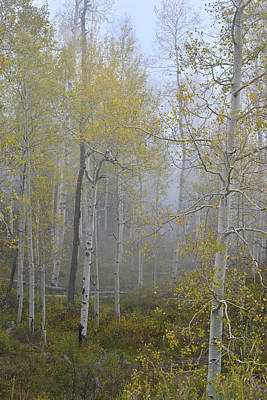Photograph - Aspens In Fog Along Dallas Creek by Ray Mathis