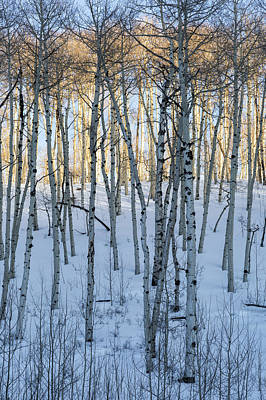 Photograph - Aspens In Shadow And Light by Denise Bush