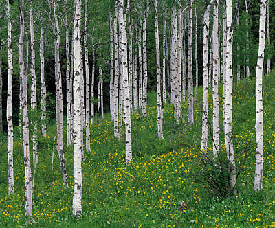 Caribou Photograph - Aspens In Spring by Leland D Howard