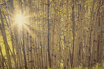 Photograph - Aspens In Summer by Amanda Smith