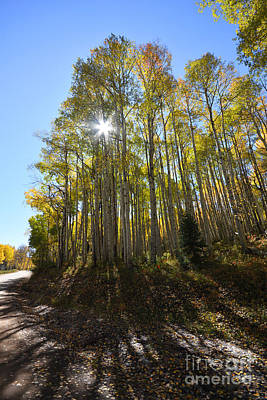 Photograph - Aspens In The Fall by Kate Avery