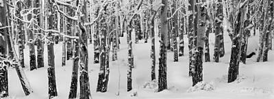Aspens In Winter Art Print
