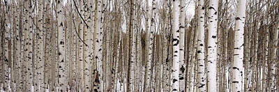 Wood Photograph - Aspens In Winter Panorama - Colorado by Brian Harig