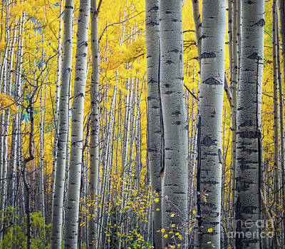 Fall Foliage Photograph - Aspens by Inge Johnsson