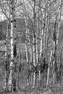 Aspens Art Print by Kathy Russell