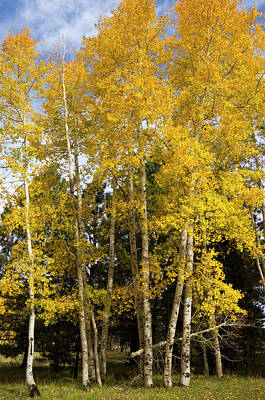 Photograph - Aspens Of Gold  by Saija Lehtonen