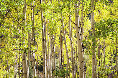 Photograph - Aspens Of Telluride by Scott Kemper