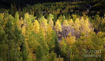 Photograph - Aspens Of The San Juans by Scott Kemper