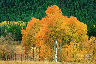 Photograph - Aspens Populus Tremuloides Fall Color Grand Tetons National Park Wyoming by Dave Welling