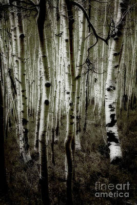 Photograph - Aspens by Scott Kemper