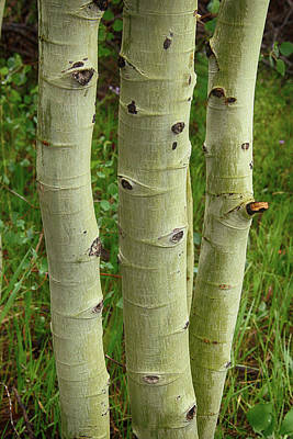 Photograph - Aspens Three by Marie Leslie