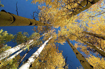 Art Print featuring the photograph Aspens Up by Steve Stuller