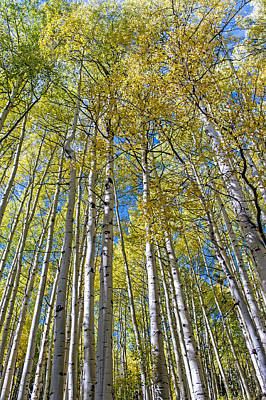 Photograph - Aspens With The Backdrop Of Colorado Blue Skies by Willie Harper