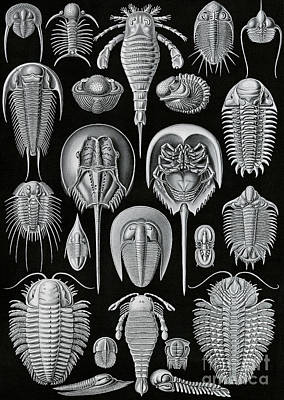 Lobster Drawing - Aspidonia by Ernst Haeckel