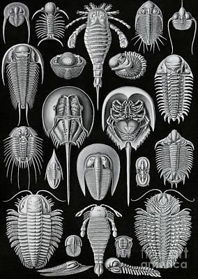 Aspidonia Art Print