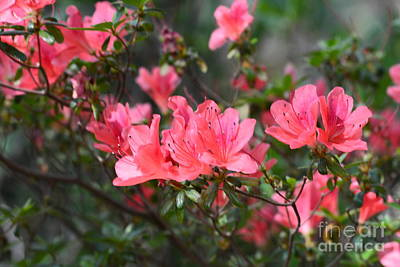 Photograph - Aspired Azaleas by Maria Urso