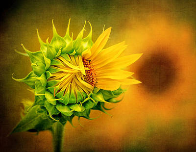 Photograph - Aspiring Sunflower by Carolyn Derstine