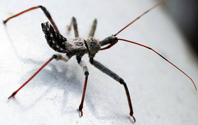 Assassin Bugs Photograph - Assassin Bug by Evelyn Patrick